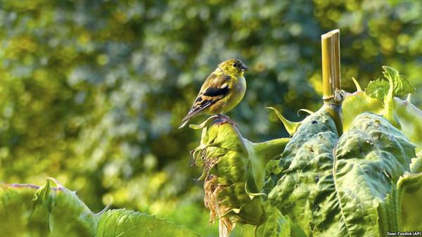 VOA慢速英语:喂食鸟儿,应考虑健康和安全问题!